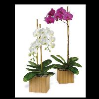 Phalaenopsis Orchids FF-M10