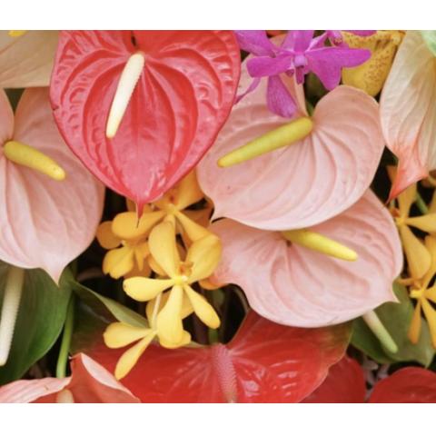 Anthurium color