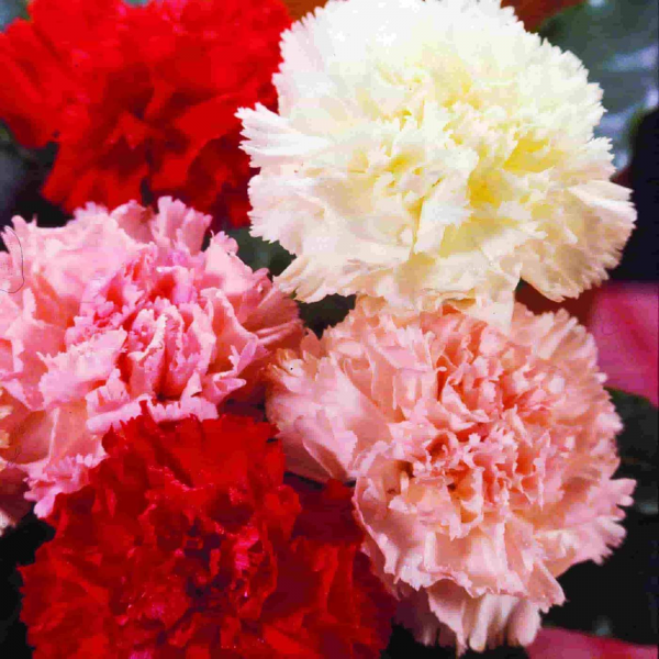 12 carnations wrapped