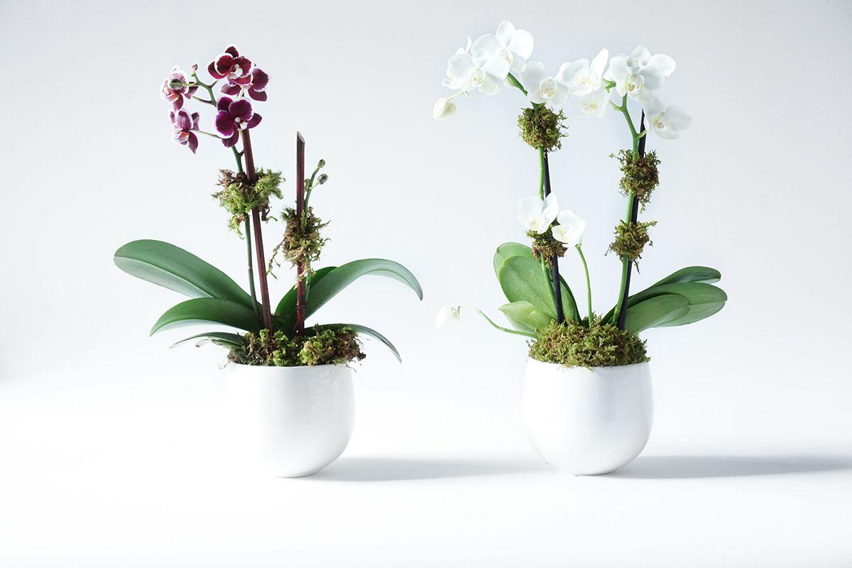 White Double Stem Mini Orchids