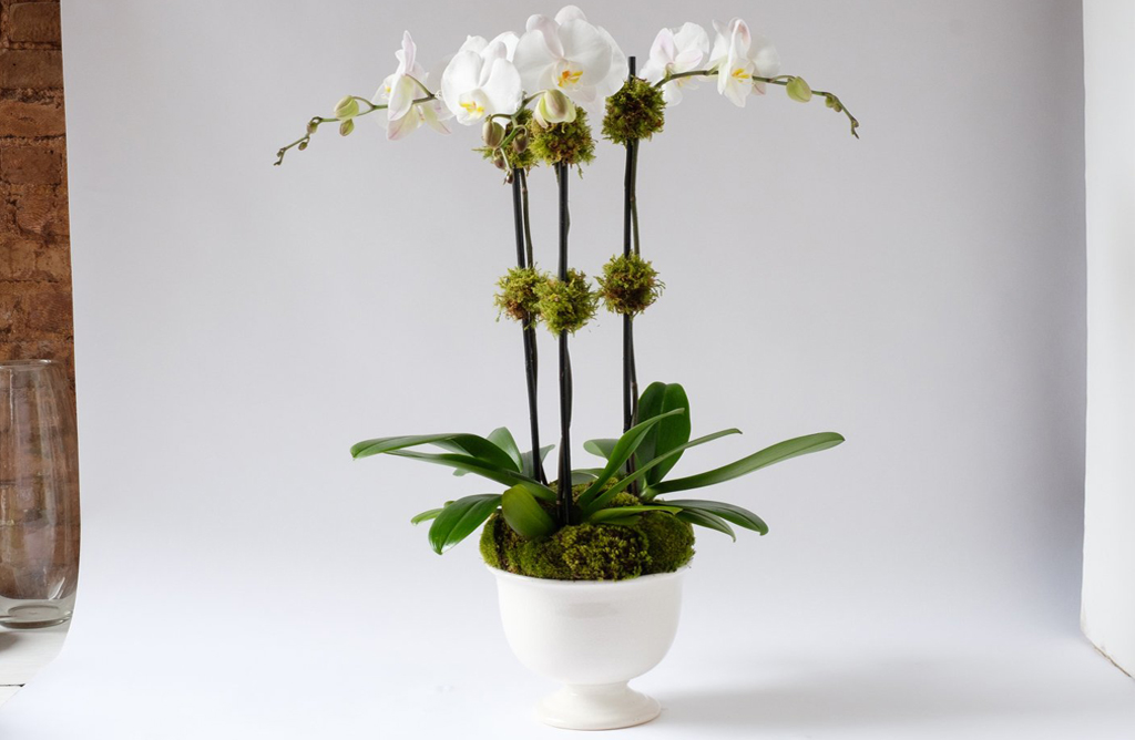 Phalaenopsis Alternative Image