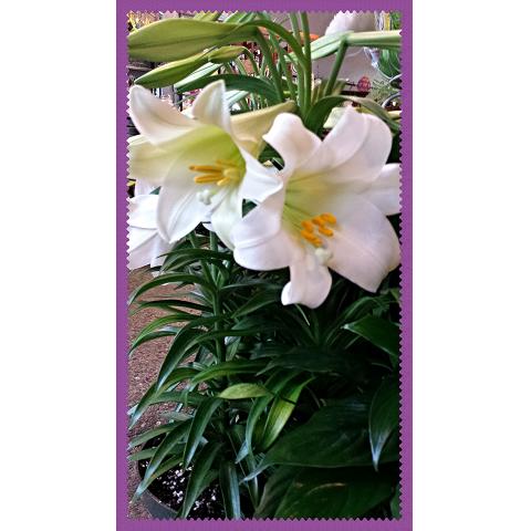 Jacques Flower Shop - Manchester JAC Easter Lily Plant