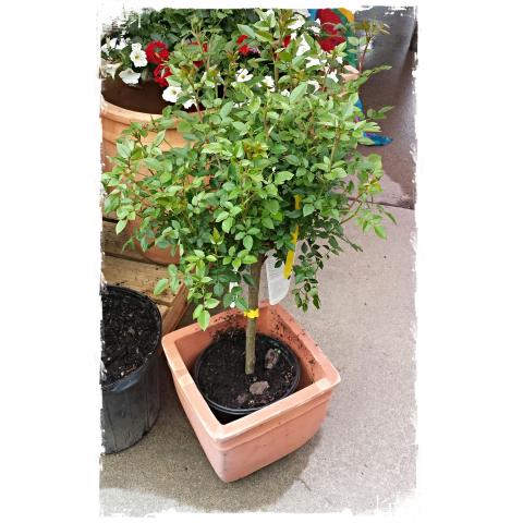 JQGC Topiary Rose Bush