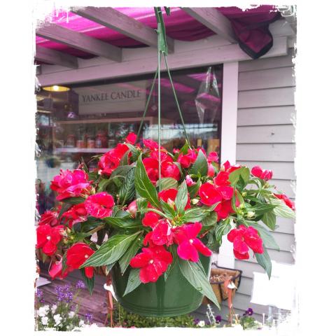 Jacques Flower Shop - Manchester JQGC New Guinea Impatien