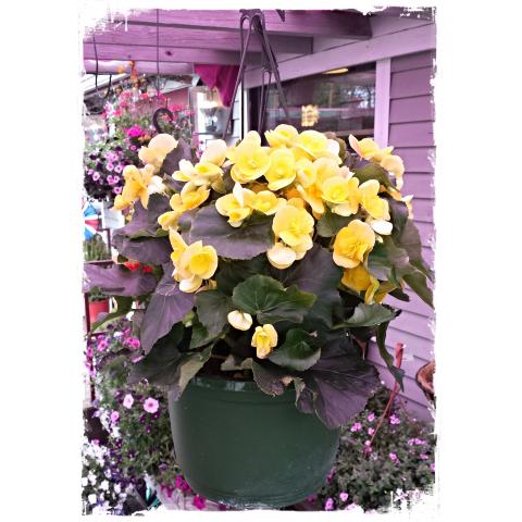 Jacques Flower Shop - Manchester JQGC Begonia Hanger