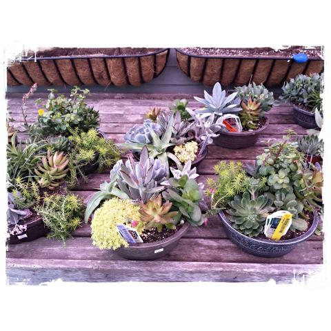 JQGC Mixed Succulent Gardens