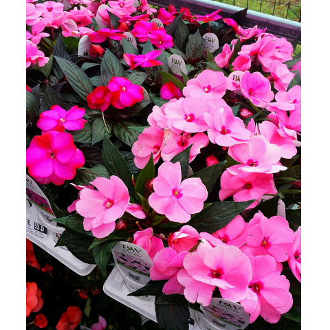 Jacques Flower Shop - Manchester JGC New Guinea Impatiens