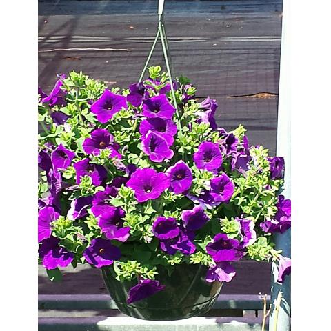 Jacques Flower Shop - Manchester JGC Purple Petunia Plant