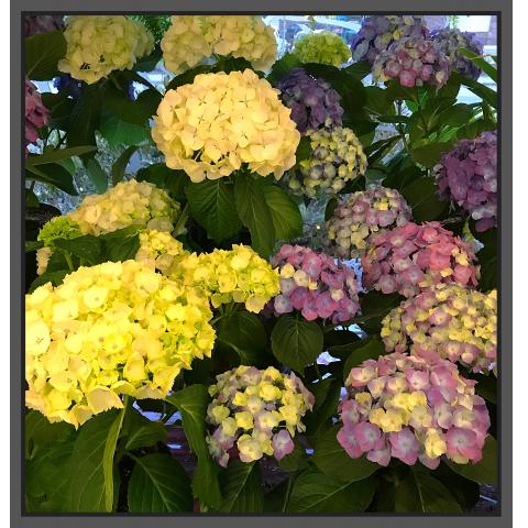 Jacques Flower Shop - Manchester JQ Local Hydrangea Plants