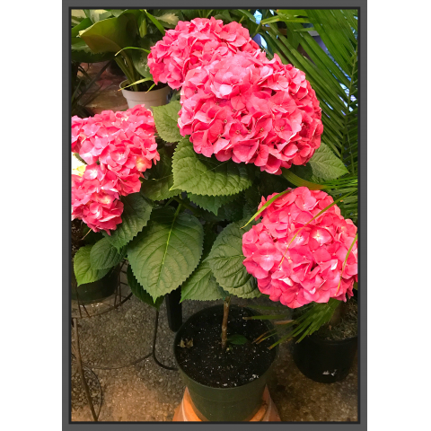 Jacques Flower Shop - Manchester JQ Hydrangea Topiary