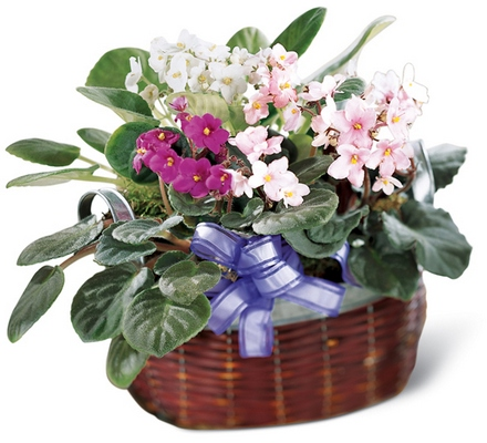 Jacques Flower Shop - Manchester African Violets