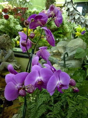Jacques Flower Shop - Manchester Elegant Orchid Plants
