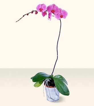 Jacques Flower Shop - Manchester FTD Phalaenopsis Lavender Orchid