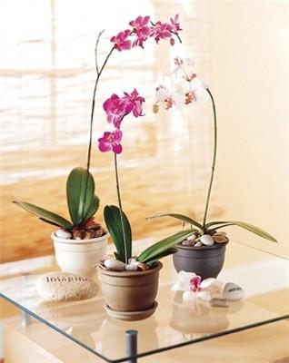 Jacques Flower Shop - Manchester JQ Exotic Phalaenopsis Orchid