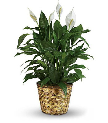 Jacques Flower Shop - Manchester Simply Elegant Spathiphyllum - Large