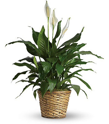 Jacques Flower Shop - Manchester Simply Elegant Spathiphyllum - Medium