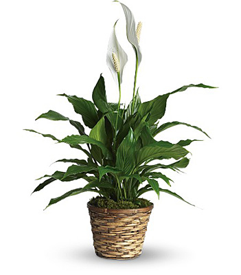 Jacques Flower Shop - Manchester Simply Elegant Spathiphyllum - Small