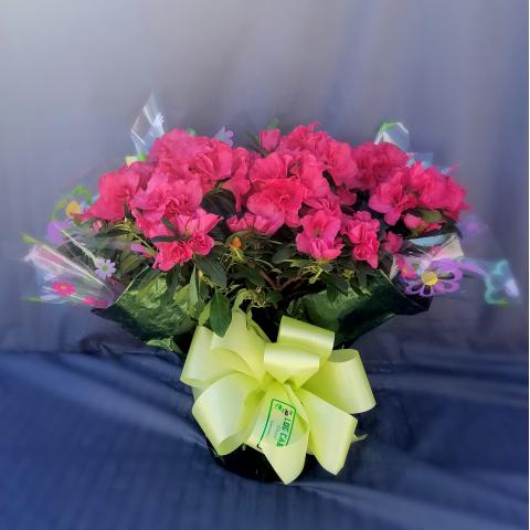 Wrapped Azalea plant