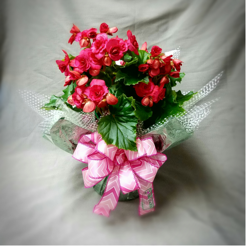 BEGONIA PLANT WRAPPED