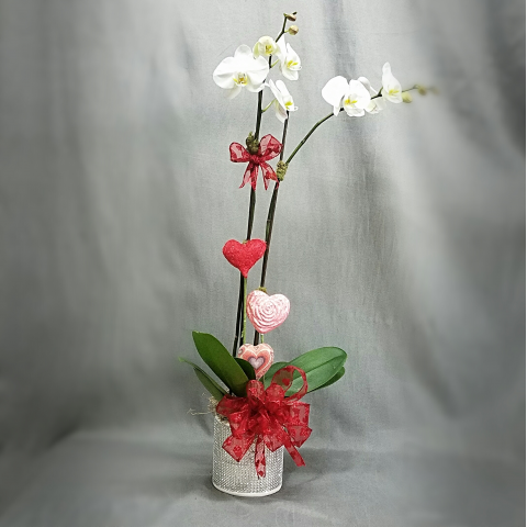 VALENTINES ORCHID