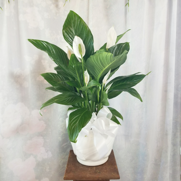 Medium Peace Lily in Ceramic
