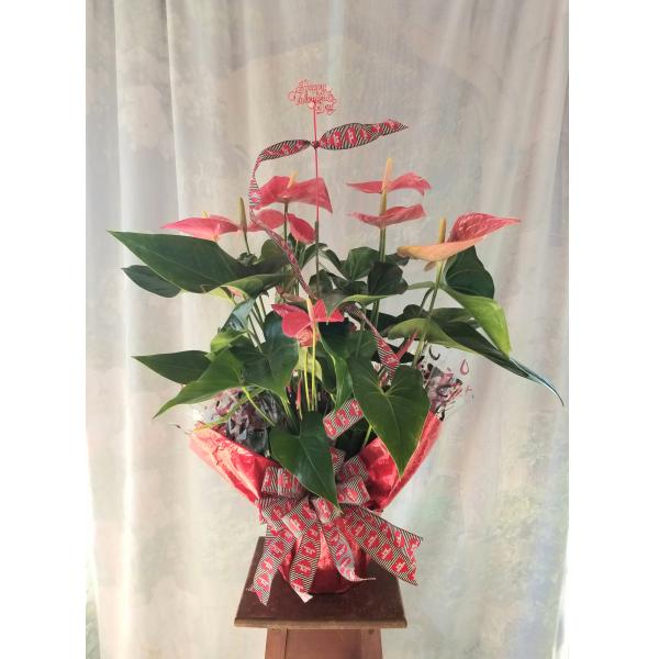 Wrapped Valentine Anthurium Plant