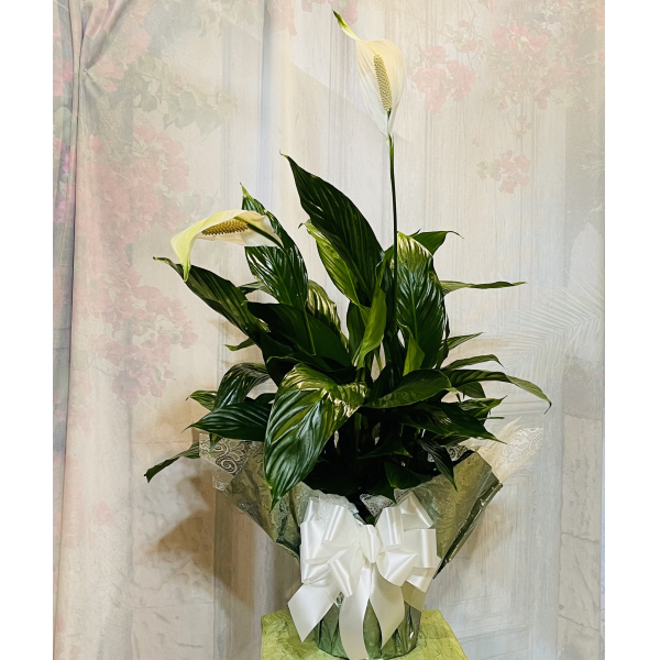 Medium Peace Lily Wrapped