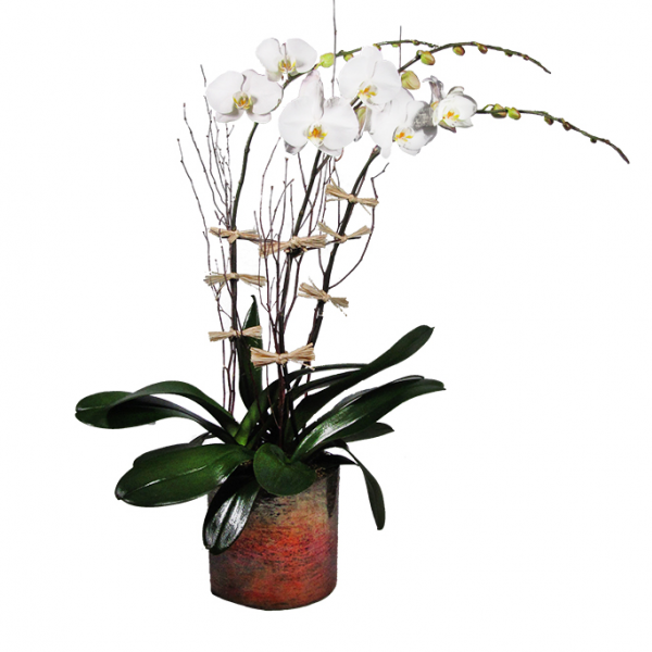 Thanksgiving Orchid
