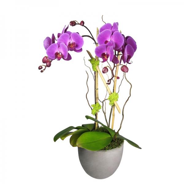 Double Purple Phalaenopsis Orchid