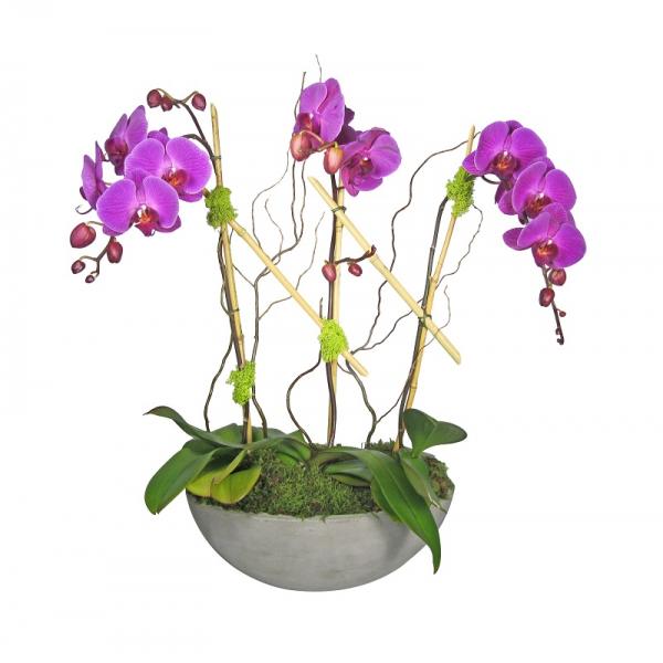 Triple Purple Phalaenopsis Orchid