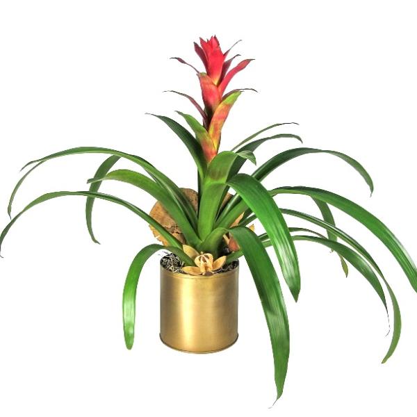 Bromeliad in Gold Pot