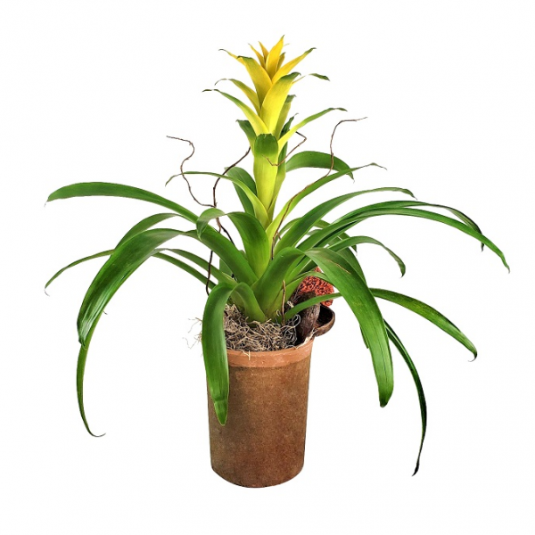Rustic Bromeliad