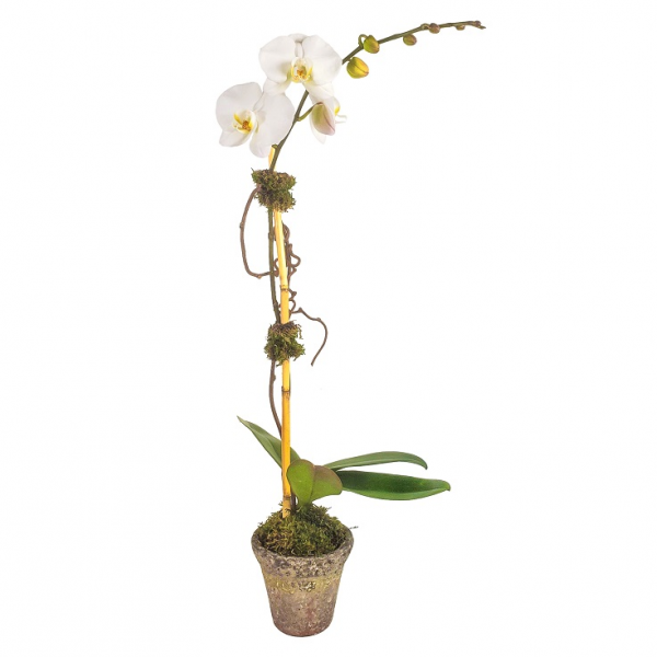 Rustic Single Orchid