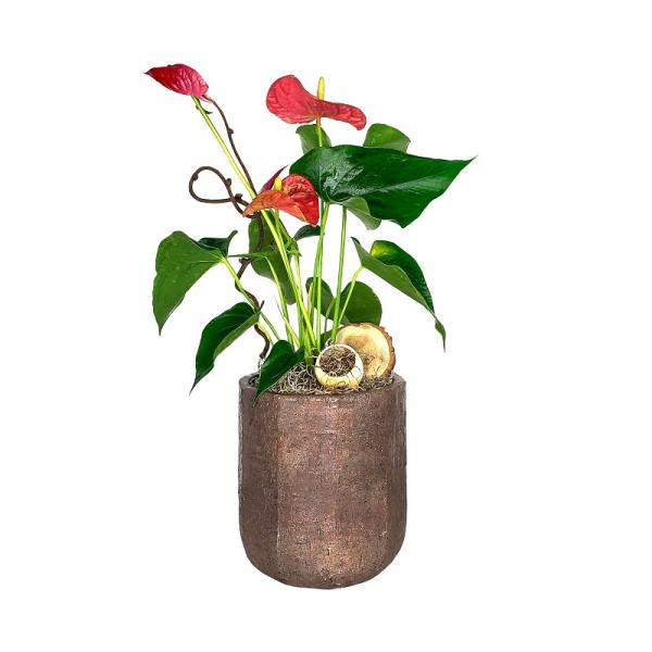 Chic Anthurium Plant