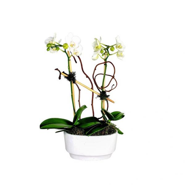 Double White Mini-Orchids in White Pot