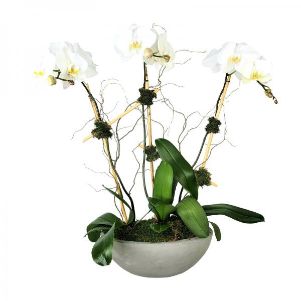 Triple Phalaenopsis Orchid in Boat