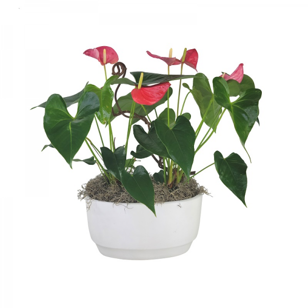 Double Anthurium in White