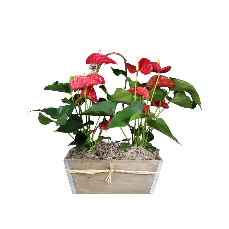 Double Red Anthurium Plant