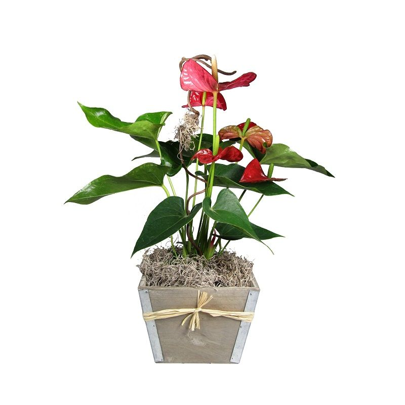 Single Red Anthurium Plant
