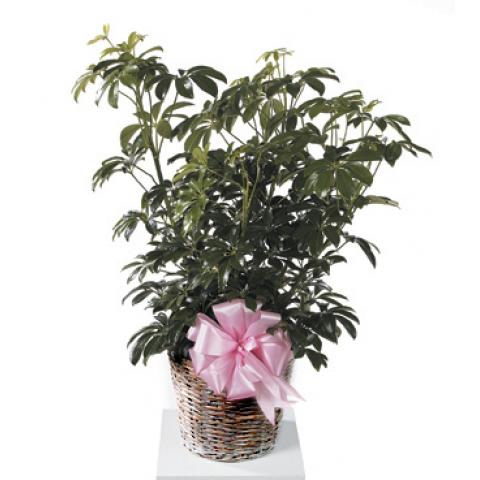 Schefflera Plant CTT67-11