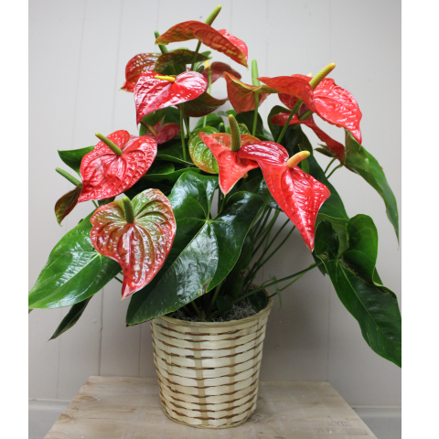 Anthurium Plant - Large