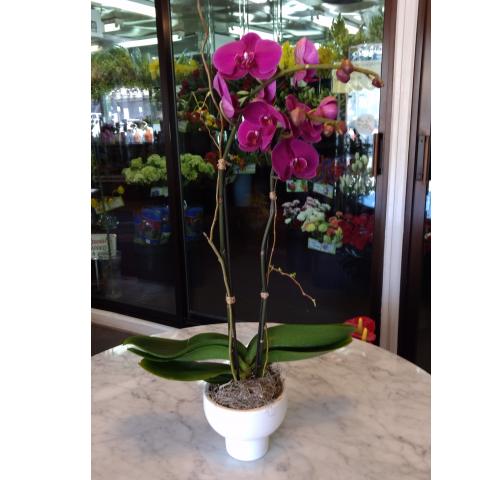 Phalaenopsis Orchid - White Bowl