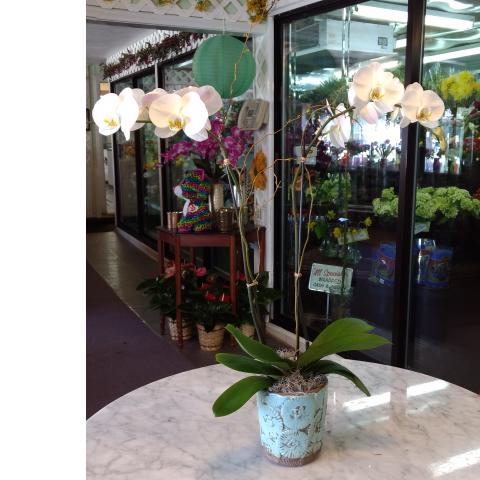 Phalaenopsis Orchid - Hawaiian