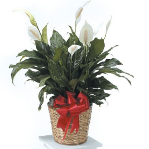 Peace Lily -Extra Large