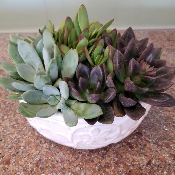 White Dish Succulent