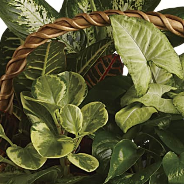 Florist Designed Blooming & Green Plants in a Basket