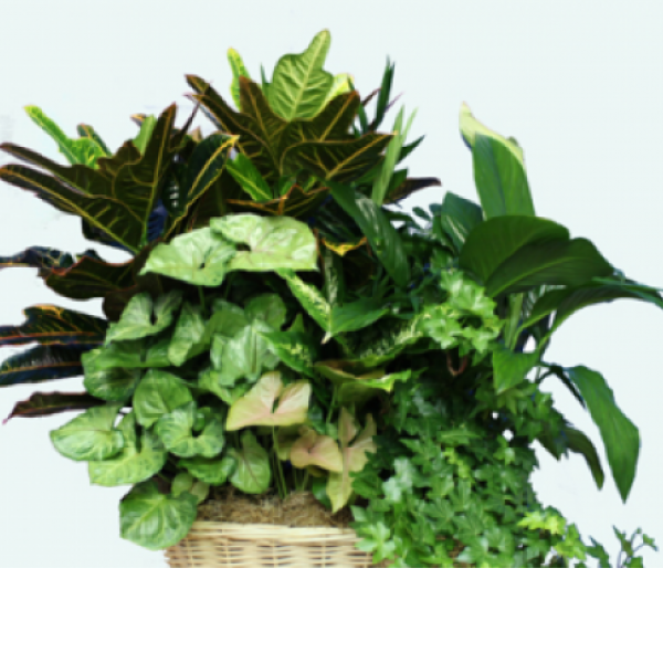 Bountiful Green Basket Garden Extra Large