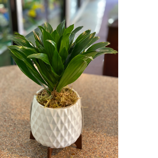 Dracena in Mid Mod Container
