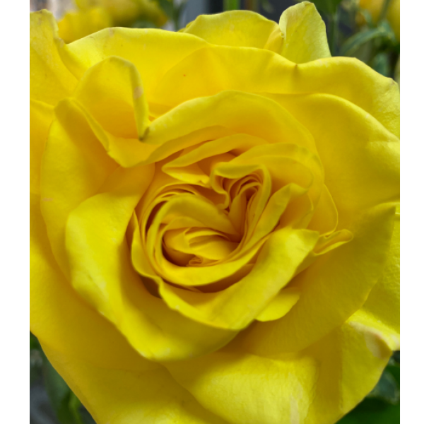 """New Yellow"" Rose"