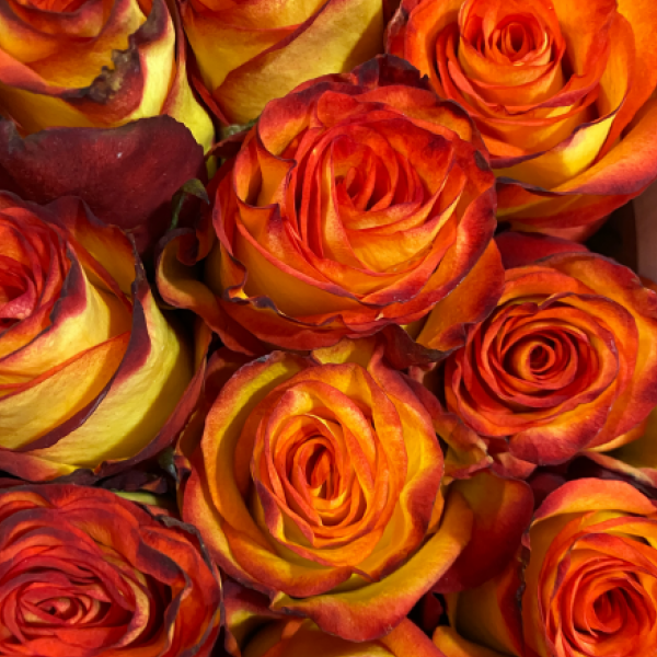 High Magic roses